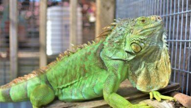 Cómo saber si mi Iguana está enferma