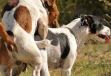 Por qué los perros se quedan pegados cuando se aparean