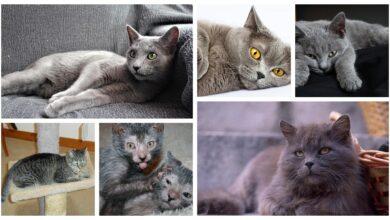 Razas de gatos grises