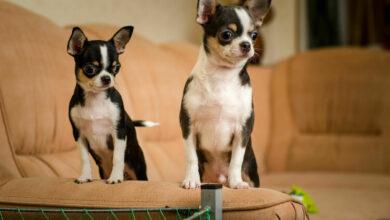 Chihuahua: Características y Cuidados