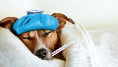 Cómo saber si mi perro tiene fiebre